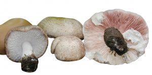 agaricus blazei murill - mandelpilz