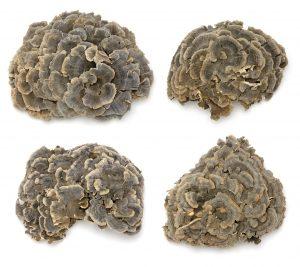 coriolus versicolor - schmetterlingstramete
