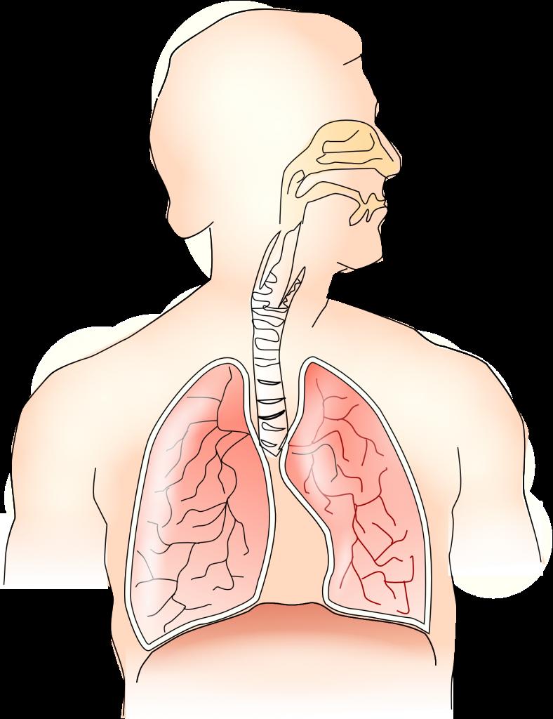 Atemwege Lunge